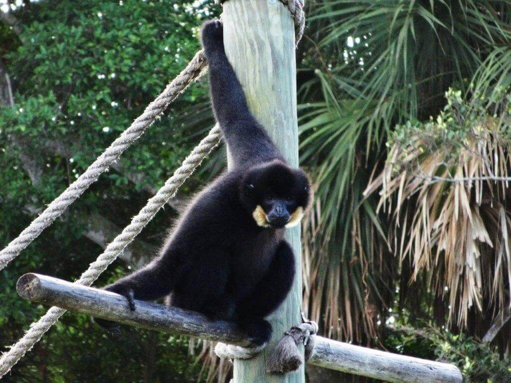 Primate at at Naples Zoo