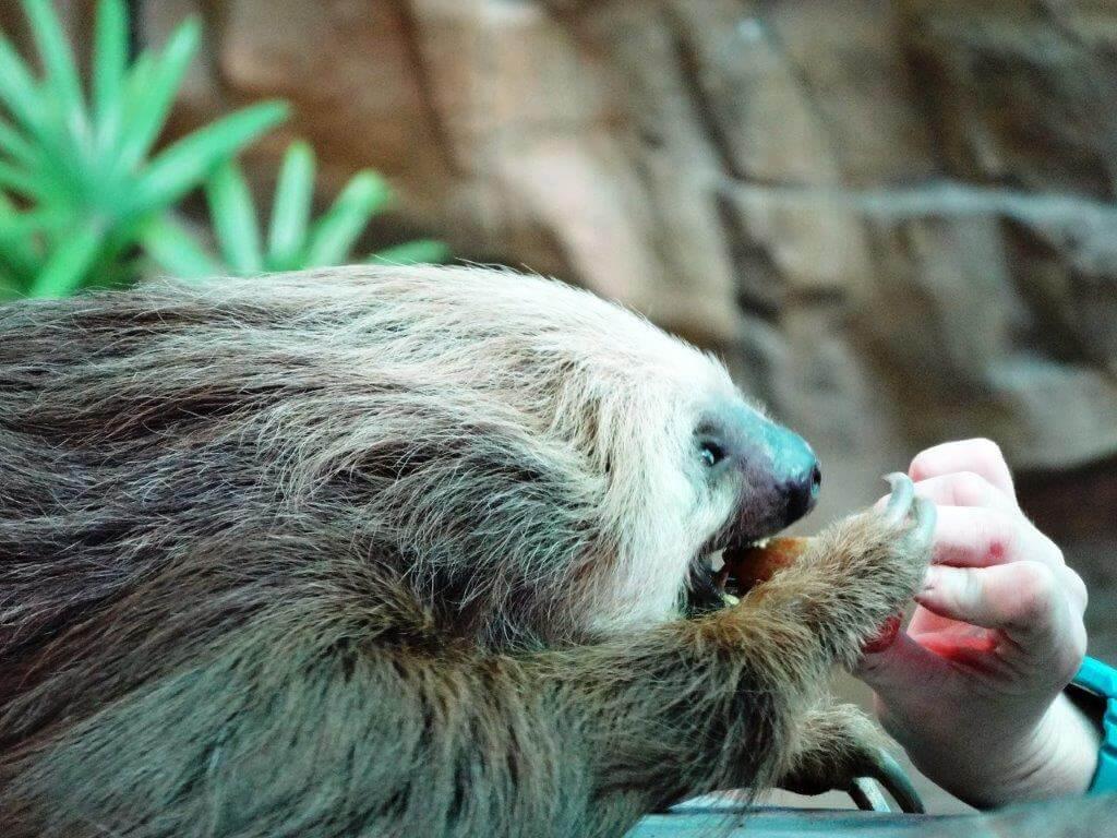 Sloth at Naples Zoo