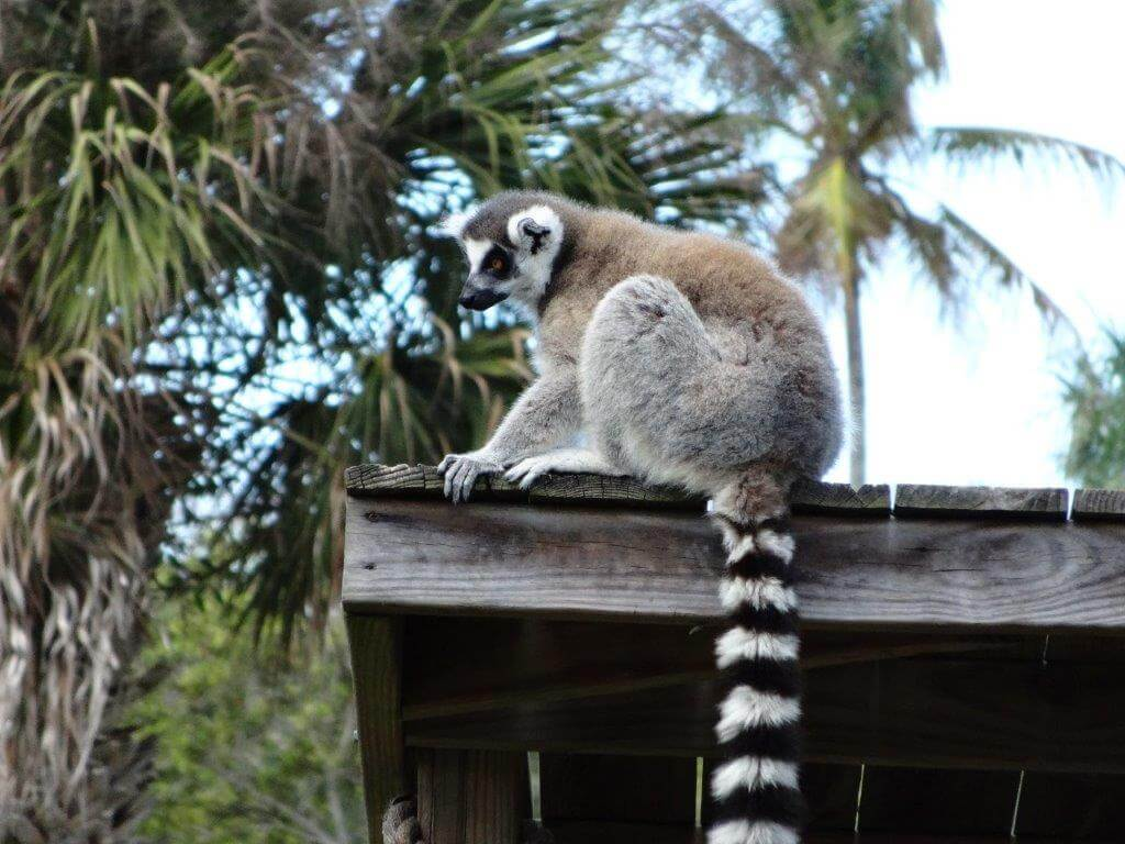 Lemur at Naples Zoo