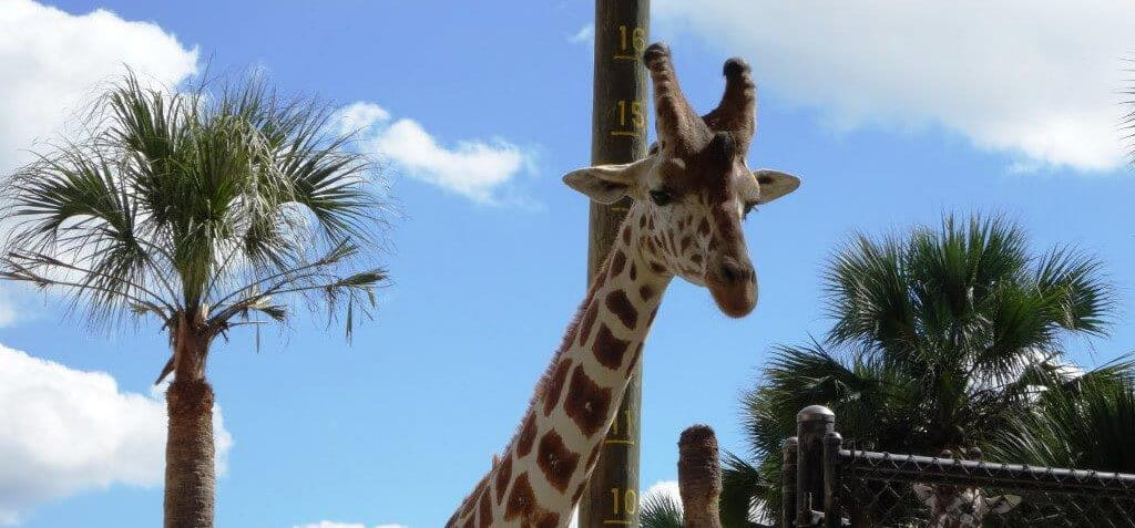 Giraffe at Naples Zoo
