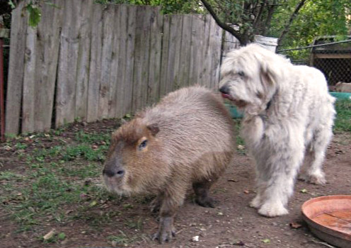 Capybara As A Pet Mccluskey Chevrolet
